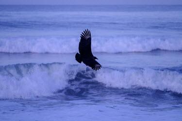 American black vulture flying low across the shore scouting for food vulture,black vulture,scavenger,scavenge,coast,coastal,beach,shore,tide,carnivore,wings,wing,wingspan,fly,flight,flying,sea,water,bird,birds,birdlife,avian,aves,Americas,Central America,Costa Rica,rai