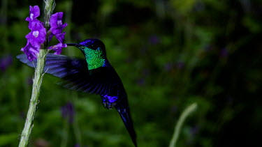 Hummingbird gathering nectar from flowers hummingbird,hummingbirds,humming bird,bird,birds,birdlife,avian,Americas,Central America,Costa Rica,rainforest,tropical,tropics,Animalia,Chordata,Aves,Apodiformes,Trochilidae,pollination,pollinator,Sp