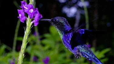 Hummingbird gathering nectar from flowers nectar,flower,flight,flying,fly,hover,hovering,adaptation,plumage,wings,wing,wingbeat,hummingbird,hummingbirds,humming bird,bird,birds,birdlife,avian,Americas,Central America,Costa Rica,rainforest,tro