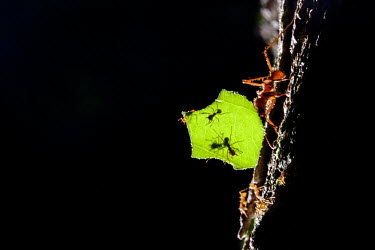 A leaf-cutter ant carrying a piece of leaf ant,leaf cutter ant,leaf cutter,insect,insects,invertebrate,invertebrates,ants,worker,gardener,gardening,macro,close up,jungle,jungles,forest,forests,Americas,Central America,Costa Rica,rainforest,tro