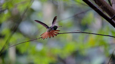 A hummingbird with its orange tail feathers on display nectar,flower,flight,flying,fly,feather,feathers,orange,plumage,wings,wing,wingbeat,hummingbird,hummingbirds,humming bird,bird,birds,birdlife,avian,Americas,Central America,Costa Rica,rainforest,shall