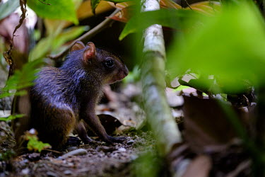 Central American agouti amongst the vegetation of the forest floor agouti,agoutis,rodent,rodents,jungle,jungles,leaf litter,forage,foraging,paws,Americas,Central America,Costa Rica,rainforest,tropical,tropics,Central American agouti,Dasyprocta punctata,Chordates,Chor
