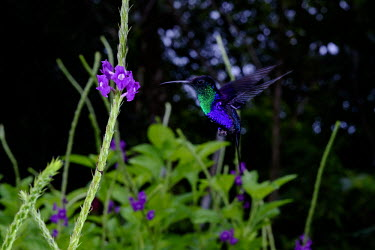 Hummingbird gathering nectar from flowers bill,nectar,flower,flight,flying,fly,hover,hovering,adaptation,plumage,wings,wing,wingbeat,hummingbird,hummingbirds,humming bird,bird,birds,birdlife,avian,Americas,Central America,Costa Rica,rainfores