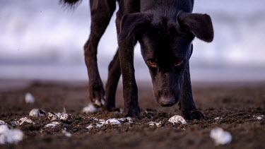 A feral dog scavenges for turtle eggs on the beach dog,canine,feral,food,eggs,egg,turtle,turtles,coast,coastal,shore,scavenge,beach,nest,scavenger,carnivore,Americas,Central America,Costa Rica,rainforest,tropical,tropics,Animalia,Chordata,Mammalia,Car