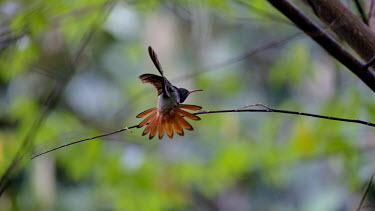 A hummingbird with its orange tail feathers on display bill,nectar,flower,flight,flying,fly,feather,feathers,orange,plumage,wings,wing,wingbeat,hummingbird,hummingbirds,humming bird,bird,birds,birdlife,avian,Americas,Central America,Costa Rica,rainforest,
