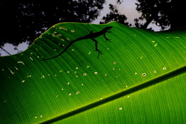 The silhouette of a lizard, as it sits on top of a palm leaf lizard,lizards,leaf,palm,jungle,jungles,forest,forests,silhouette,feet,foot,toe,toes,claw,claws,climb,climber,light,Americas,Central America,Costa Rica,rainforest,tropical,tropics,Animalia,Chordata,Re
