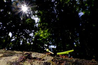 Leaf-cutter ants carrying pieces of plant life dog,canine,feral,food,eggs,egg,turtle,turtles,coast,coastal,shore,scavenge,beach,nest,scavenger,carnivore,Americas,Central America,Costa Rica,rainforest,tropical,tropics,Animalia,Chordata,Mammalia,Car