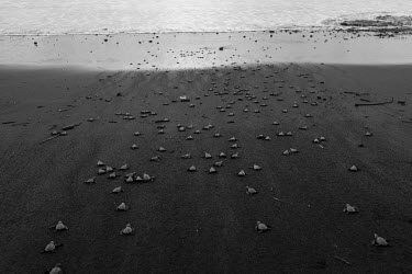 Newly hatched olive ridley turtles makes their way to the sea juvenile,baby,babies,young,hatchling,beach,journey,life,migration,sand,coast,coastal,vulnerable,exposed,prey,black and white,olive ridley,ridley turtle,sea turtle,sea turtles,turtle,turtles,shell,rept