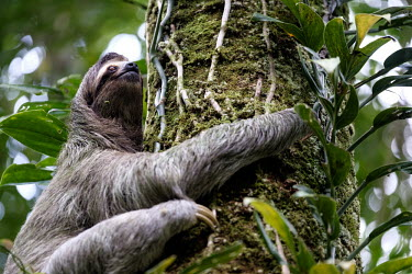 Brown-throated three-toed sloth climbing a tree sloth,sloths,three-toed sloth,climb,climbing,arboreal,mammal,mammals,Americas,Central America,Costa Rica,rainforest,tropical,tropics,jungle,jungles,Brown-throated three-toed sloth,Bradypus variegatus,