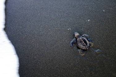 Newly hatched olive ridley turtle experiences water for the first time juvenile,baby,young,hatchling,beach,sand,coast,coastal,vulnerable,exposed,prey,journey,olive ridley,ridley turtle,sea turtle,sea turtles,turtle,turtles,shell,reptile,reptiles,Americas,Central America,