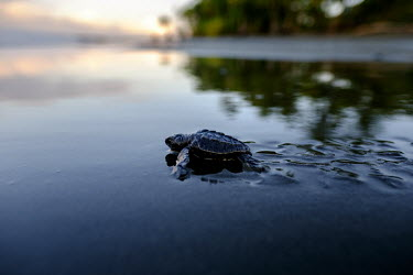 Newly hatched olive ridley turtle makes its way to the sea juvenile,baby,young,hatchling,beach,sand,coast,coastal,vulnerable,exposed,prey,journey,olive ridley,ridley turtle,sea turtle,sea turtles,turtle,turtles,shell,reptile,reptiles,Americas,Central America,