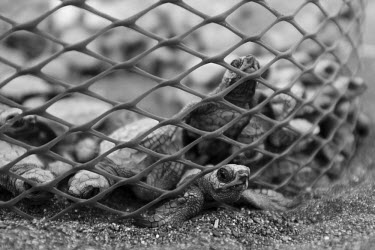 Olive ridley turtle hatchlings emerge to net protection, soon to be released juvenile,baby,babies,young,hatchling,beach,journey,net,conservation,release,protect,protection,protected,vulnerable,black and white,olive ridley,ridley turtle,sea turtle,sea turtles,turtle,turtles,she