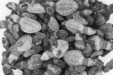 Close up of a group of newly hatched olive ridley turtles juvenile,baby,babies,young,hatchling,black and white,olive ridley,ridley turtle,sea turtle,sea turtles,turtle,turtles,shell,reptile,reptiles,Americas,Central America,Costa Rica,tropical,tropics,invert