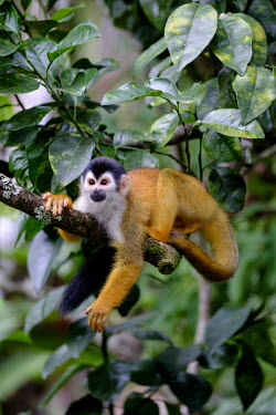 A squirrel monkey relaxes on a tree branch relax,relaxed,relaxing,rest,resting,branch,tree,canopy,arboreal,squirrel monkey,monkey,monkeys,primate,primates,mammal,mammals,Americas,Central America,Costa Rica,rainforest,tropical,tropics,forest,fo