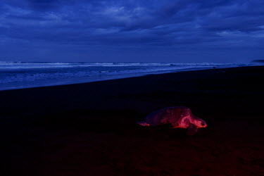 An olive ridley turtle laying eggs on a beach at night nesting,nest,lay,laying,pregnant,female,beach,sand,coast,coastal,vulnerable,exposed,journey,olive ridley,ridley turtle,sea turtle,sea turtles,turtle,turtles,shell,reptile,reptiles,Americas,Central Ame
