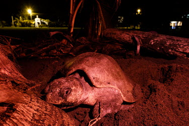An olive ridley turtle  surrounded by vultures as it lays its eggs nesting,nest,lay,laying,pregnant,female,beach,sand,coast,coastal,vulnerable,exposed,journey,olive ridley,ridley turtle,sea turtle,sea turtles,turtle,turtles,shell,reptile,reptiles,Americas,Central Ame