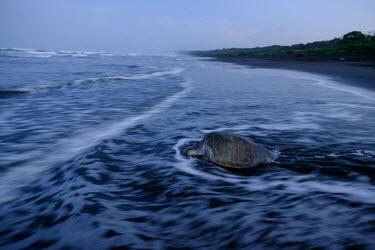 An olive ridley turtle makes its way back into the sea beach,coast,coastal,shore,tide,journey,olive ridley,ridley turtle,sea turtle,sea turtles,turtle,turtles,shell,reptile,reptiles,Americas,Central America,Costa Rica,tropical,tropics,invertebrate,inverte