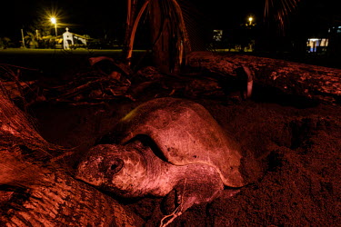 An olive ridley turtle makes its way back into the sea nesting,nest,lay,laying,pregnant,female,beach,sand,coast,coastal,vulnerable,exposed,journey,olive ridley,ridley turtle,sea turtle,sea turtles,turtle,turtles,shell,reptile,reptiles,Americas,Central Ame