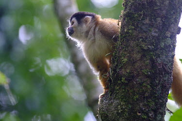 Squirrel monkey sitting in a tree sitting,sit,watching,branch,tree,canopy,arboreal,squirrel monkey,monkey,monkeys,primate,primates,mammal,mammals,Americas,Central America,Costa Rica,rainforest,tropical,tropics,forest,forests,bokeh,sha