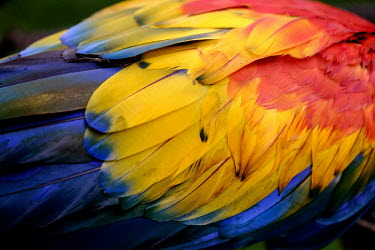 The bright plumage of a scarlet macaw macaw,macaws,bird,birds,birdlife,avian,aves,wings,feathers,bill,plumage,parrot,parrots,colour,colourful,red,Americas,Central America,Costa Rica,rainforest,tropical,tropics,Scarlet macaw,Ara macao,Parr