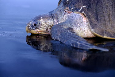 An olive ridley turtle makes its way along the shore sand,shore,beach,coast,coastal,close up,mouth,reflection,olive ridley,ridley turtle,sea turtle,sea turtles,turtle,turtles,shell,reptile,reptiles,Americas,Central America,Costa Rica,tropical,tropics,in