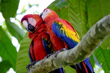 A pair of scarlet macaw perching in a tree pair,couple,romance,valentine,valentines,mates,macaw,macaws,bird,birds,birdlife,avian,aves,wings,feathers,bill,plumage,parrot,parrots,colour,colourful,red,Americas,Central America,Costa Rica,rainfores
