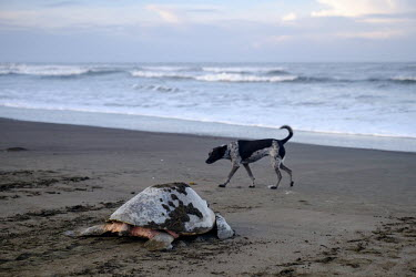 A feral dog patrolling the beach as an olive ridley turtle returns to the sea beach,coast,coastal,shore,tide,journey,dog,canine,feral,scavenge,scavenger,olive ridley,ridley turtle,sea turtle,sea turtles,turtle,turtles,shell,reptile,reptiles,Americas,Central America,Costa Rica,t