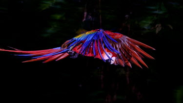 An action shot of a scarlet macaw in flight action,flight,fly,flying,wings,wing,aerial,macaw,macaws,bird,birds,birdlife,avian,aves,feathers,bill,plumage,parrot,parrots,colour,colourful,red,Americas,Central America,Costa Rica,rainforest,tropical