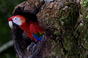 Scarlet macaw emerging from its nest in the trunk of a tree macaw,macaws,bird,birds,birdlife,avian,aves,wings,feathers,bill,plumage,parrot,parrots,colour,colourful,red,Americas,Central America,Costa Rica,rainforest,tropical,tropics,Scarlet macaw,Ara macao,Parr
