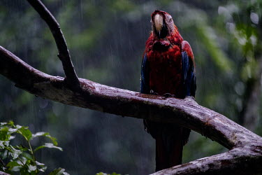 A scarlet macaw perched on a branch in the rain wet,rain,rainy,exposed,perch,perched,perching,branch,tree,arboreal,macaw,macaws,bird,birds,birdlife,avian,aves,wings,feathers,bill,plumage,parrot,parrots,colour,colourful,red,Americas,Central America,
