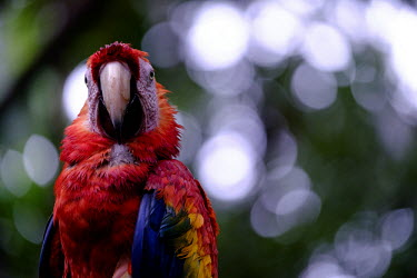 Close up of scarlet macaw close up,shallow focus,negative space,face,bill,bokeh,macaw,macaws,bird,birds,birdlife,avian,aves,wings,feathers,plumage,parrot,parrots,colour,colourful,red,Americas,Central America,Costa Rica,rainfor