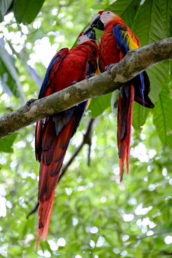 A pair of scarlet macaw perching in a tree pair,couple,romance,valentine,valentines,mates,perch,perched,perching,branch,macaw,macaws,bird,birds,birdlife,avian,aves,wings,feathers,bill,plumage,parrot,parrots,colour,colourful,red,Americas,Centra