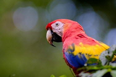 Side profile of a scarlet macaw sat in a tree close up,shallow focus,negative space,face,bill,bokeh,macaw,macaws,bird,birds,birdlife,avian,aves,wings,feathers,plumage,parrot,parrots,colour,colourful,red,Americas,Central America,Costa Rica,rainfor