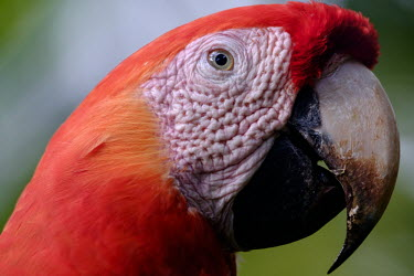 Face shot of a scarlet macaw macaw,macaws,bird,birds,birdlife,avian,aves,wings,feathers,bill,plumage,parrot,parrots,colour,colourful,red,Americas,Central America,Costa Rica,rainforest,tropical,tropics,Scarlet macaw,Ara macao,Parr