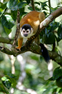 A squirrel monkey climbing along a tree branch climb,climbing,forage,foraging,shy,arboreal,squirrel monkey,monkey,monkeys,primate,primates,mammal,mammals,Americas,Central America,Costa Rica,rainforest,tropical,tropics,forest,forests,close up,shall