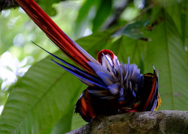 Scarlet macaw preening tail feather,feathers,feather,preen,preening,macaw,macaws,bird,birds,birdlife,avian,aves,wings,bill,plumage,parrot,parrots,colour,colourful,red,Americas,Central America,Costa Rica,rainforest,tropical,