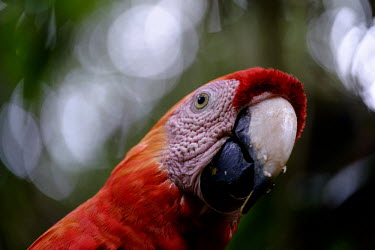 Face shot of a scarlet macaw close up,shallow focus,negative space,face,bill,bokeh,macaw,macaws,bird,birds,birdlife,avian,aves,wings,feathers,plumage,parrot,parrots,colour,colourful,red,Americas,Central America,Costa Rica,rainfor