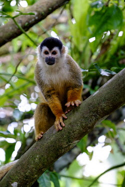 Squirrel monkey sitting in a tree sitting,sit,watching,branch,tree,canopy,arboreal,squirrel monkey,monkey,monkeys,primate,primates,mammal,mammals,Americas,Central America,Costa Rica,rainforest,tropical,tropics,forest,forests,Red-backe