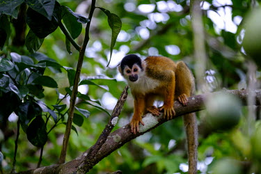 Squirrel monkey sitting in a tree sitting,sit,watching,mischief,mischievous,branch,tree,canopy,arboreal,squirrel monkey,monkey,monkeys,primate,primates,mammal,mammals,Americas,Central America,Costa Rica,rainforest,tropical,tropics,for