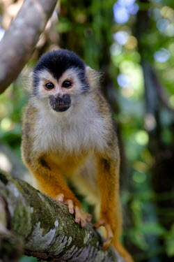 Squirrel monkey sitting in a tree sitting,sit,watching,branch,tree,canopy,arboreal,squirrel monkey,monkey,monkeys,primate,primates,mammal,mammals,Americas,Central America,Costa Rica,rainforest,tropical,tropics,forest,forests,close up,