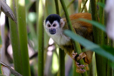 A squirrel monkey climbing through vegetation climb,climbing,forage,foraging,shy,arboreal,squirrel monkey,monkey,monkeys,primate,primates,mammal,mammals,Americas,Central America,Costa Rica,rainforest,tropical,tropics,forest,forests,close up,shall