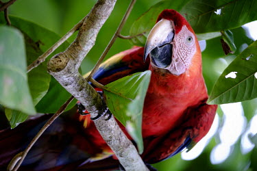 A scarlet macaw peers at the camera from the trees perch,perched,perching,branch,macaw,macaws,bird,birds,birdlife,avian,aves,wings,feathers,bill,plumage,parrot,parrots,colour,colourful,red,Americas,Central America,Costa Rica,rainforest,tropical,tropic