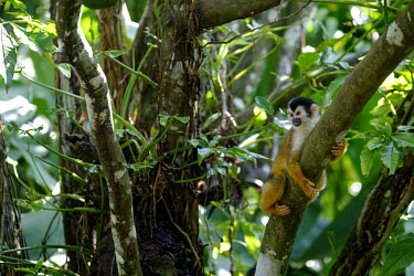 Squirrel monkey hugging a tree branch relax,relaxed,relaxing,rest,resting,branch,tree,canopy,arboreal,squirrel monkey,monkey,monkeys,primate,primates,mammal,mammals,Americas,Central America,Costa Rica,rainforest,tropical,tropics,forest,fo
