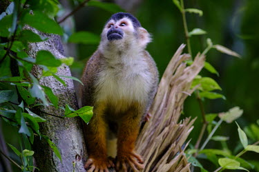 Squirrel monkey sitting in a tree tongue,face,cheeky,mischief,mischievous,mouth,arboreal,squirrel monkey,monkey,monkeys,primate,primates,mammal,mammals,Americas,Central America,Costa Rica,rainforest,tropical,tropics,forest,forests,clo