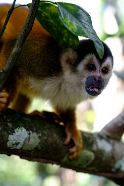 Squirrel monkey with its tongue out sitting,sit,watching,branch,tree,canopy,arboreal,squirrel monkey,monkey,monkeys,primate,primates,mammal,mammals,Americas,Central America,Costa Rica,rainforest,tropical,tropics,forest,forests,Red-backe
