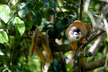 A pair of squirrel monkey hanging out in a tree relax,relaxed,relaxing,rest,resting,branch,tree,canopy,arboreal,squirrel monkey,monkey,monkeys,primate,primates,mammal,mammals,Americas,Central America,Costa Rica,rainforest,tropical,tropics,forest,fo