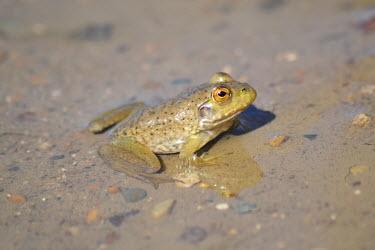 American bullfrog in water bullfrog,american bullfrog,anura,amphibia,ranidae,chordata,lithobates catesbeianus,ellis lake wetlands,frogs,invasive,invasive species,amphibians,American bullfrog,Lithobates catesbeianus,Ranidae,Rani