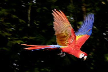 An action shot of a scarlet macaw flying action,flight,fly,flying,wings,wing,aerial,macaw,macaws,bird,birds,birdlife,avian,aves,feathers,bill,plumage,parrot,parrots,colour,colourful,red,Americas,Central America,Costa Rica,rainforest,tropical