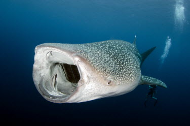 Whale shark with mouth wide open, filter feeding shark,sharks,sharks and rays,elasmobranch,elasmobranchs,elasmobranchii,marine,marine life,sea,sea life,ocean,oceans,water,underwater,aquatic,fish,giant,big,feeding,mouth,gills,filter feeder,scuba,scub
