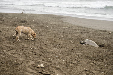 A feral dog sniffs around an olive ridley turtle laying eggs on the beach turtle,turtles,olive ridley,nest,nesting,laying,lay,dog,canine,feral,food,eggs,egg,coast,coastal,shore,scavenge,beach,scavenger,carnivore,Americas,Central America,Costa Rica,tropical,tropics,Animalia,